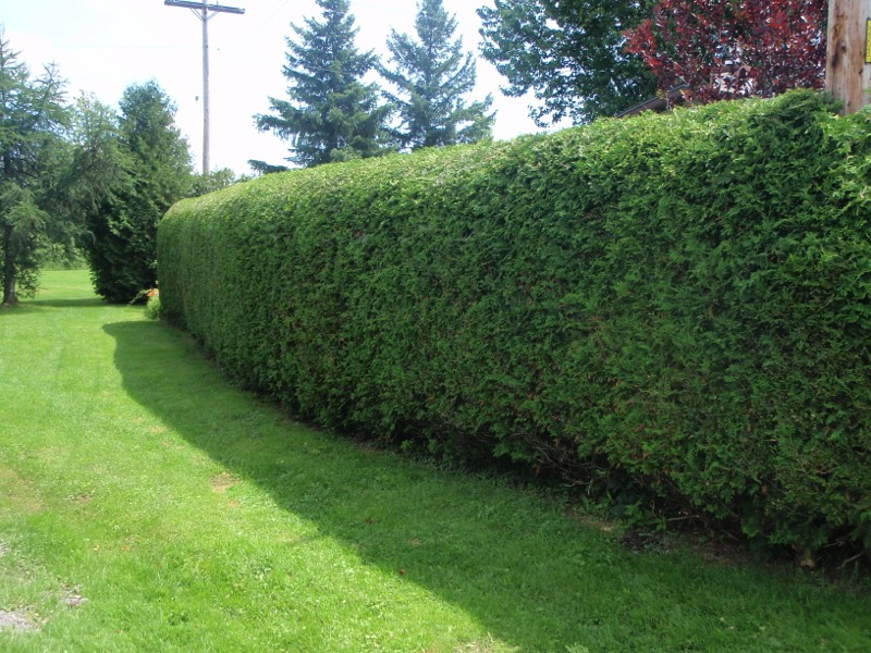 RayzorHedges trimmed hedge